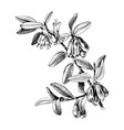 hand drawn honeysuckle branch vector image vector image