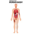Diagram of organs of the human body vector image vector image