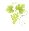 Beautiful green grape vine vector image vector image