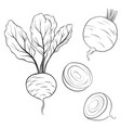 drawing beets vector image vector image