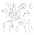 hand drawn tulips collection in line style contour vector image vector image