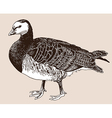 Barnacle goose Branta leucopsis vector image