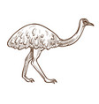 emu ostrich isolated sketch australian flightless vector image