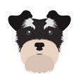 isolated schnauzer avatar vector image