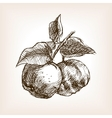 Quince hand drawn sketch style vector image vector image