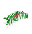 Yew sprigs with red berries isolated vector image