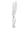 leg muscles back vector image