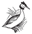 great crested grebe vintage vector image vector image