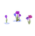 crocuses early spring flowers vector image
