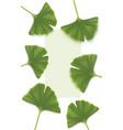 ginkgo-biloba backgrounds vector image