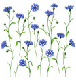 cornflower set vector image