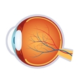 a human eye anatomy vector image