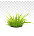 tussock green grass vector image