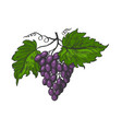 grapes with leaves color sketch engraving vector image