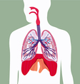 respiratory system lungs human body vector image vector image