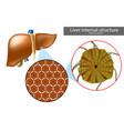 lobules liver or hepatic lobules liver vector image vector image