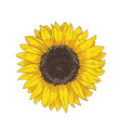 elegant natural realistic drawing of sunflower vector image