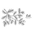 oak nut and leaf drawing with line art on white vector image