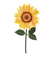 beautiful sunflower drawing vector image