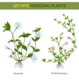 Blossom of herbal periwinkle with branch and vector image