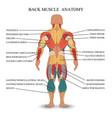 muscle anatomy2 vector image