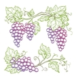 Hand drawn grape branches vector image vector image