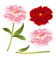 Pink and red peony flower isolated on white