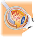 the structure human eye vector image