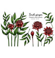 set red torch ginger flower and leaf drawing vector image vector image