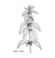 ink drawing plant of nettle vector image vector image