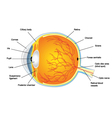 Anatomic Structure of human eye vector image