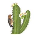 gila woodpecker bird on saguaro cactus in desert vector image