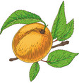 ripe apricot with green leaf and branch vector image