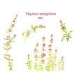 watercolor thyme set herbal tea for health vector image
