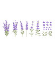 set different lavender branches on white vector image vector image