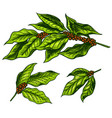 coffee leaves in vintage style hand drawn vector image vector image