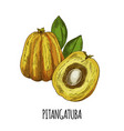 pitangatuba full color realistic hand drawn vector image vector image
