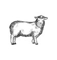 sheep farm animal engraving vector image vector image