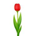 tulip decorative garden vector image