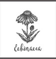 echinacea purpurea plant hand drawn sketch of vector image