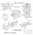 plant ashwagandha vector image vector image
