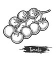 sketch tomato branch with fetus vegetable vector image vector image