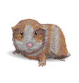 Guinea pig vector image vector image