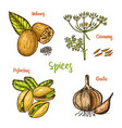 herbs condiments and spices nutmeg and vector image