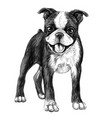 dog breed boston terrier sketch drawn vector image