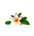 realistic pink plumeria flower with green leaves vector image vector image
