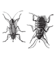 Cockroaches engraving vector image