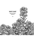 hand drawn background with rape plant vintage vector image vector image