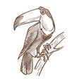 toucan exotic bird isolated sketch tropical vector image