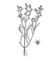lycopsis arvensis botanical hand drawn pictures vector image vector image